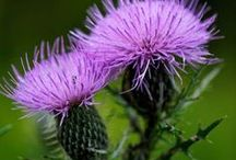thistle / by Sandy Stich