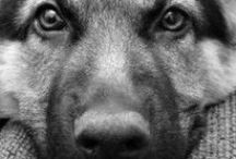 Guild of Collies & Shepherds / The German Shepherd Dog Breed