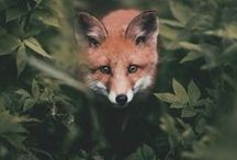 Foxes of the Forest / We love foxes! They are smart, clever and beautiful.