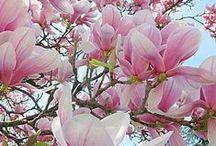 Essence of Magnolia