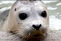 Special Seals / and other Pinnipeds