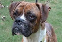 ABR Boxers / http://www.atlantaboxerrescue.org/availableboxers.html