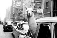 _just a llama