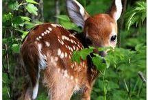 Ketut ja muut villieläimet / Eläimet luonnossa...