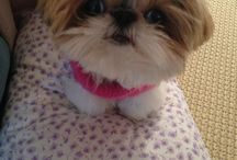 Shih Tzu love, clothes for Lilly, pets / by Rachael Fry Hamer