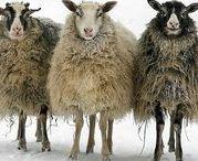 FLEECY BUDS / sheep, lamb, alpaca, animals, farm, fiber, cute, happy, funny