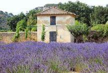 Lavender in Provence / Ah, the splendor of lavender in Provence