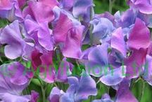multicolour Flowers