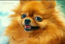 Pomeranian / My dogs