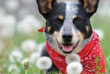 Australian Cattle Dogs ~ Rule My World♥♥♥ / by Karen Levin