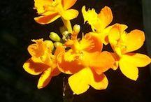 orquideas / orquid