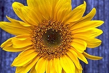 Sunflowers and Gardening / The only flower that follows the Sun across the sky during the day....whats not to love!  And Gardening too.. / by Ellen Carter, Broker