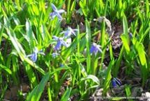 """Scilla Lindener Berg Hannover / """"Das blaue Wunder"""" wird sie genannt, die jährliche Scilla Blüte auf dem Bergfriedhof am Lindener Berg Hannover Linden - aufgenommen vom Makler und Hausverwalter in Hannover: arthax-immobilien.de"""
