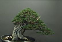 BONSAI DESIGN Sandro Segneri / Arte del bonsai