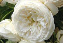 garden roses / garden rose love
