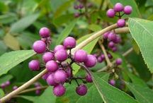 bessen en siervruchten