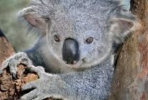 Koala Krazy / I LOVE koalas and have a HUGE collection of them. A dream came true when I got to hold a real one while on my honeymoon back in 1992 / by Bobbie Jo Clark-Cotton