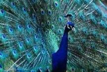 Pretty as a Peacock / by Bobbie Jo Clark-Cotton