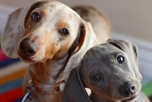 """Darling Dachshunds / I've been """"owned"""" by dachshunds for over 18 years.  They just get under your skin with those sweet faces."""