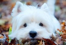 Westies / I couldn't help myself ~~they are so cute!!! / by Laurie Stevens