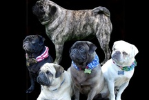 PUGS / PUGS ARE MY FAVORITE BREED OF HUMAN OWNERS.THEY ARE BY FAR THE MOST ENDEARING AND LOVING BALLS OF PERSONALITY YOU COULD HAVE THE PLEASURE OF HAVING IN YOUR LIFE.ENJOY MY BOARD.