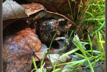 """Sebastian / Curious, pretty and ever hungry she has grown from a bit bigger than a quarter when she was found to 3"""" in nine months. Mistaken at first for a terrapin, she is definitely a girl and a box turtle. Well fooled once again. This handsome red-eyed turtle is a boy! He enjoys listening to Bach played on the piano."""