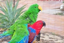Shadows Aviarys birds Previous and Present / Birds galore, Eclectus, Major Mitchells, Ringneck's, lovebirds, Moustache parrot's, Lorikeets, Budgies and more