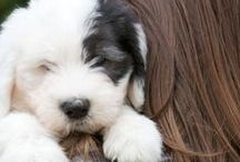 Dog Breeds That Don't Shed / Dog Breeds That Don't Shed | Looking for a companion but don't want to deal with excessive grooming? Perhaps you have minor allergies and simply need a puppy that won't leave too much hair around. While all dogs shed, some certainly shed more than others. Discover dog breeds that shed the least!