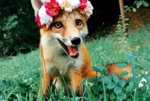 Foxes / Well, we love foxes....