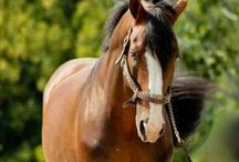 Equines Are Life / ALL about EQUINES!!! For Westerners, Englishers, and horse-lovers alike!! Every Horse person if welcome here!! / by Isabella Hope