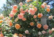 """Romantic Roses / One of my favorite flowers, I used """"Rose"""" as the middle name of two of my characters in my Wellington Cross Series of romance novels."""