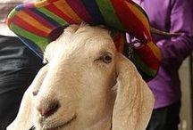 Gary The Goat.. / What a legend Gary...