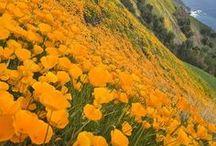 Walking among the flower fields YELLOW & ORANGE / ...bright, energy, sun, creativity, intellect, happy, joyous, uplifting...courage, confidence, warmth, friendliness, success...