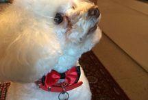 Boby boy little poodle / Boby boy poodle
