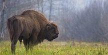 Buffalo / Everything Buffalo, Bison, etc.