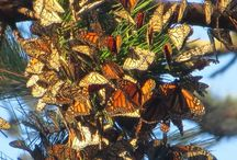 Overwintering Monarchs / Monarch butterflies overwinter in temperate coastal areas on the California coastside for Western monarchs. Areas in central Mexico for the Eastern monarchs. Clusters of monarchs are a phenomenon worth seeing for yourself. But until then I will share my experiences with you thru this board.