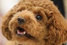 Toy Poodles / 【もふもふ注意】見たら骨抜きにされてしまう可愛い犬画像