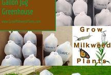 Starting Milkweed from Seed / Seed starting for milkweed seeds.  Tips & Tricks Simple to elaborate methods for growing milkweed plants from seed.