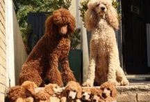 Oodles and oodles of poodles