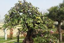 Bonsai / alberi bonsai tree