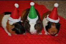 Guinea Pigs & Gliders OH MY!