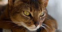 Cats - Abys and other cuties / I heart Abyssinians. (I love all cats, but can't help feeling abys are my very special soulmates. My first adopted one was an aby).