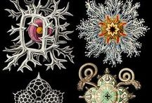 Ernst Haeckel / A board dedicated to the biology-as-art brilliance of German biologist, naturalist, philosopher, physician, professor and artist  - Ernst Haeckel (1834-1919)