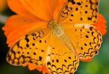 Animal -  Insect : Butterfly &  Moth
