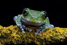 Animal : Frogg