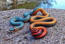Animal : Snake