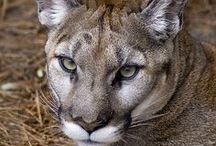 Animal : Big Cat