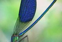 Animal - Insect : Dragonfly