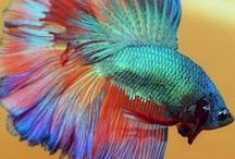 Animal - Fish : Betta Fish