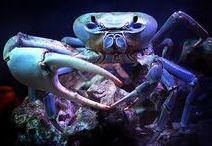 Animal :  Crab